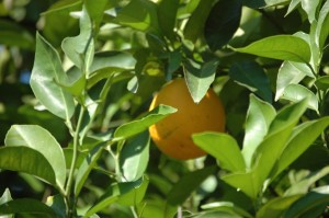 La  xylella fastidiosa peut toucher de nombreux végétaux:  vigne, agrumes, prunus, café, avocat, luzerne, laurier rose, chêne, érable. (© Pierre-Yves Ratti)
